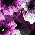 Purple Petunia Paradise by Sonya Chalmers