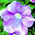 Purple Petunias 2 by Ken Lerner