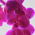 Purple Phalaenopsis Orchids by Dale Kauzlaric