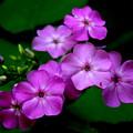 Purple Phlox By Earl's Photography by Earl  Eells a