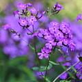 Purple Phlox by Penny Neimiller