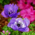 Purple Poppies by Nancy Mueller