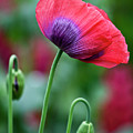 Purple Poppy Flower by Heiko Koehrer-Wagner