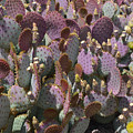 Purple Prickly Pear 2 by Aimee L Maher ALM GALLERY