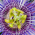 Purple Radial by Christopher Holmes
