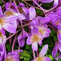 Purple Rain Lilies by Bob Phillips