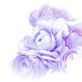 Purple Ranunculus by Susan Westervelt