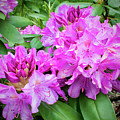 Purple Rhododendron by Brian Wallace