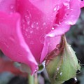 Purple Rose And Bud by Miss McLean