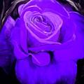 Purple Rose by Nicole Clark