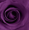 Purple Rose Of Artsy by Leonard Rosenfield