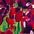 Purple Royals Tulips by Susan Garren