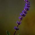 Purple Salvia Flower by Art Whitton