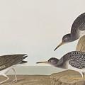 Purple Sandpiper by John James Audubon