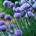 Purple Scallions by Smilin Eyes  Treasures