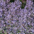 Purple Spikes Flora Impression 6.8.17  by Michael DeSiano