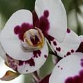 Purple Splash Orchid 3 by Kristina Jones