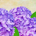 Purple Spring Hydrangeas by Laura D Young