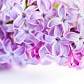 Purple Spring Lilac Flowers Blooming by Michal Bednarek