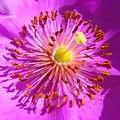 Purple Starburst by Liz Vernand