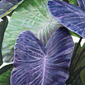 Purple Taro by Sandra Blazel - Printscapes