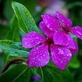 Purple Teardrop by Shirley Dawson