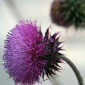 Purple Thistle by Christiane Schulze Art And Photography
