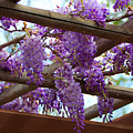 Purple Trellis by Marta Robin Gaughen