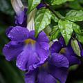 Purple Trumpet Flowers by Teresa Wilson