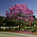 Purple Trumpet Tree In Urban Environment by Carlos Alkmin