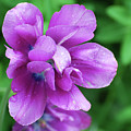 Purple Tulip Blossom With Dew Drops On The Petals by DejaVu Designs