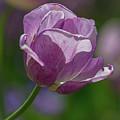 Purple Tulip by Mark Chandler