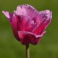 Purple Tulip by Stephen Path