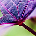 Purple Veins by Christopher Holmes