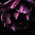Purple Velvet Rose by Kevin J McGraw