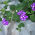 Purple Verbena by Renee Bonner