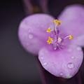 Purple Wandering Jew by David Downs