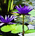 Purple Water Lilies by D W Steinbarger