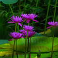 Purple Water Lilies by Garry Gay