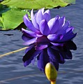 Purple Water Lily by Andrea Everhard