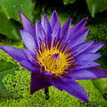 Purple Water Lily by Ray Laskowitz - Printscapes