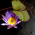 Purple Water Lily by Rosalie Scanlon