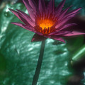 Purple Water Lily by Stephen Anderson