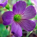 Purple Wildflowers Macro 1 by J M Farris Photography