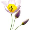 Purple Yellow Tulip 2 by Rebecca Cozart
