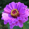 Purple Zinnia  by Elizabeth Duggan