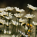 Pushing Up Daisies by Donna Blackhall
