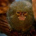 Pygmy Marmoset by Anthony Jones