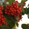 Pyracantha Berries In December by Anna Lisa Yoder