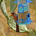 Pyrrhuloxia Swinging On The Feeder by Bonnie See